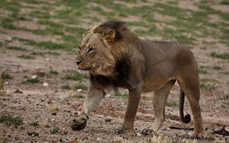 Male lion in its prime