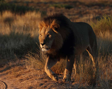 Male lion in early light Stock Photo