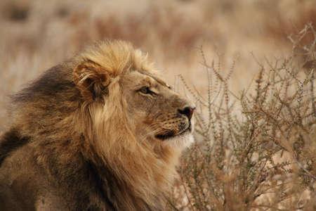 Portrait of a mail lion