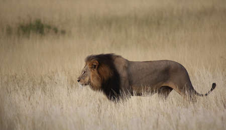 Nale lion walking through tall grass isolated from the background Stock Photo