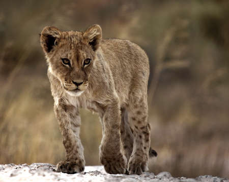 lion cub isolated from the background