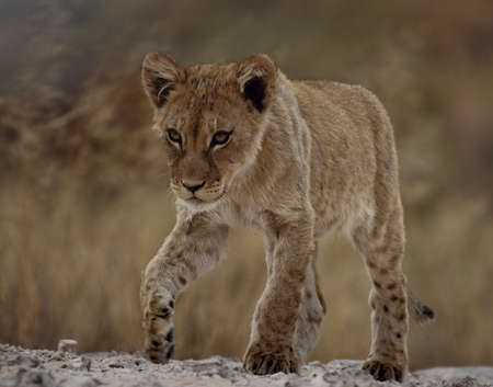 Lion cub walking on a ridge