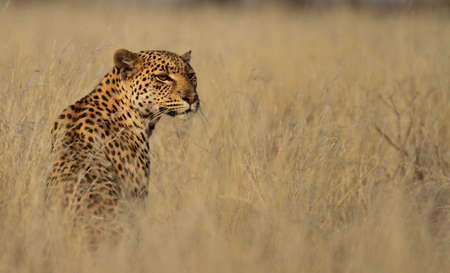 Leopard isolated in tall grass
