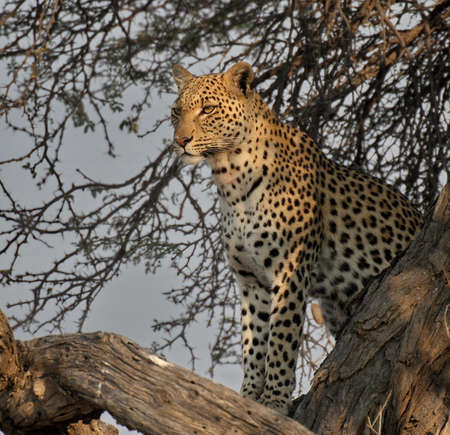 Leopard sitting in a tree Stock Photo