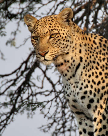 Portrait of a leopard in a tree Stock Photo