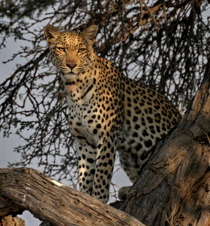 Leopard sitting in a tree with eye contact