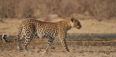 Leopard walking in the Kgaligadi desert