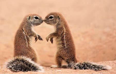 zoenen Eekhoorns Stockfoto