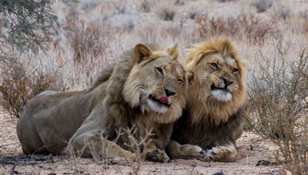 Lion Brothers with funny faces Stock Photo
