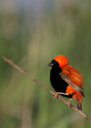Southern Red Bishop isolated against a green background