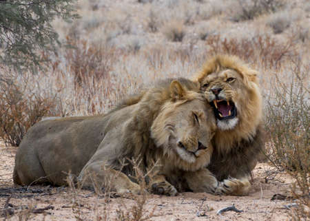 lion brothers interacting