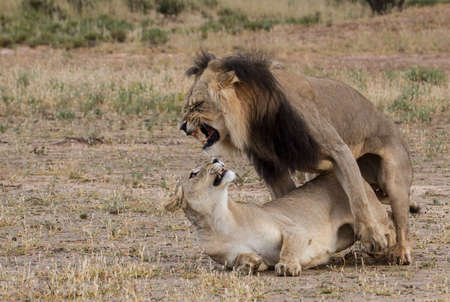 Wild lions mating