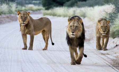3 Lion brothers walking down the road