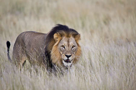 Male lion isolated in tall grass with eye contact and smiling Stock Photo