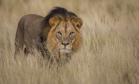 Male lion Isolated is tall grass with eye contact