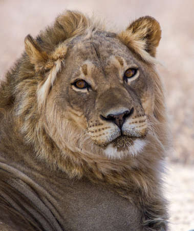 Portrait of a male lion with eye contact Stock Photo