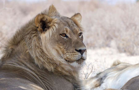 game drive: Portrait of a male lion isolated from the background