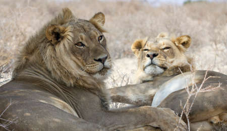 Lion brothers with eye contact