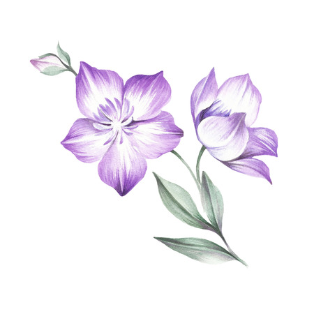 The composition of Clematis. Hand draw watercolor illustration.