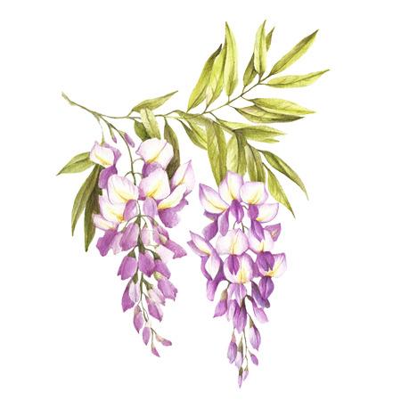 c79c934e215 Branch of wisteria. Hand draw watercolor illustration.