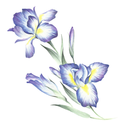 The composition of irises. Hand draw watercolor illustration.