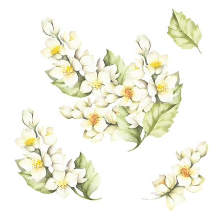 The set of the sprig of Jasmine.Watercolor illustration Stock Photo