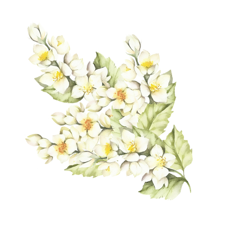 sprig: The sprig of Jasmine. Hand draw watercolor illustration. Stock Photo
