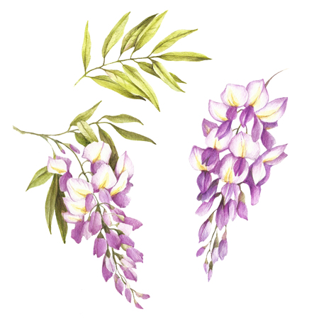 Set of flowers and leaves of wisteria. Hand draw watercolor illustration. Stock Photo