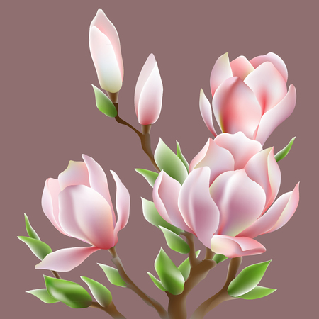 beautiful image of blooming magnolia Soulangis. Vector illustration. Illustration