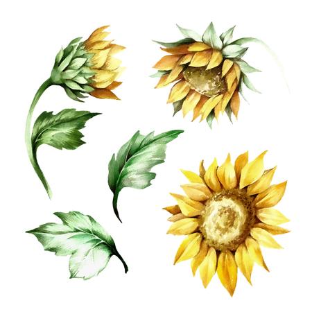Set of sunflower. Hand draw watercolor illustration