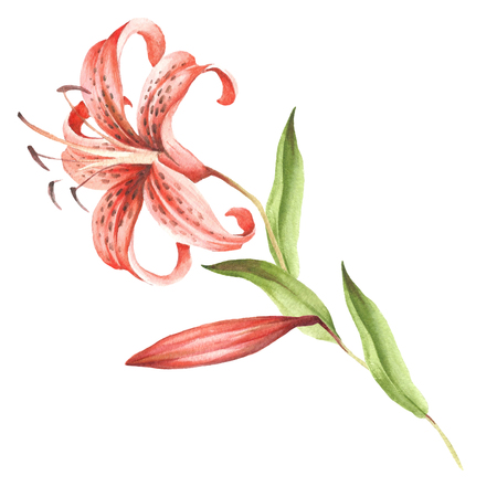 image tiger lily flowers hand draw watercolor illustration illustration