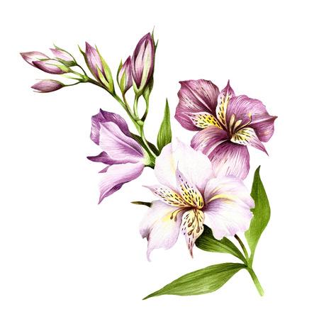Composition avec alstroemeria en utilisant l'illustration aquarelle dessinée à la main. Banque d'images - 83656892