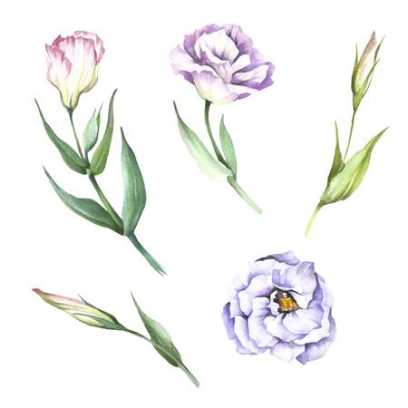 Set with flowers eustoma in hand drawn watercolor illustration