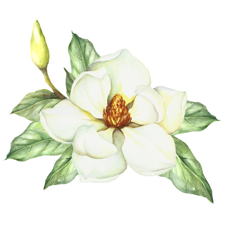 Composition with magnolia with hand drawn watercolor illustration.