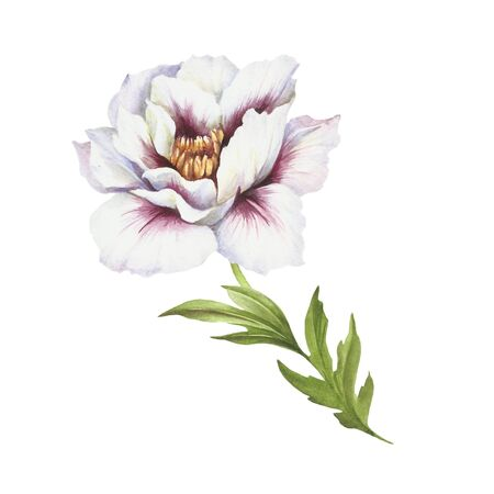 greenery: Image of Peony flower. Hand draw watercolor illustration.