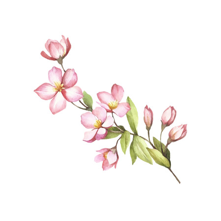 Branch of sakura blossoms. Hand draw watercolor illustration.