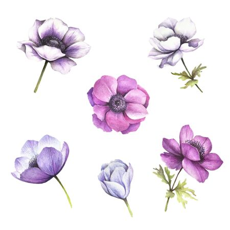 Set of flowers. Anemones. Hand draw watercolor illustration