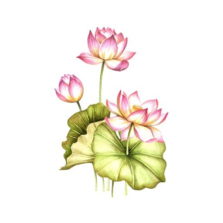 Composition with lotus. Hand draw watercolor illustration. Stock Photo
