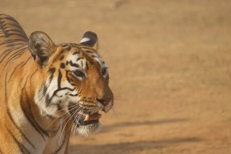 Hermoso tigre de bengala Foto de archivo