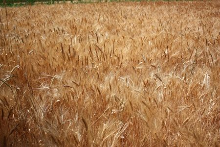 Wheat field Stock Photo - 3396439