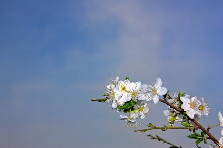 Flowers of a plum tree over blue sky with copyspace