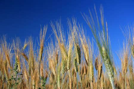 Wheats over blue sky close up - horizontal Stock Photo