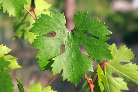 Grape leaf in a garden close up - Shallow DOF Stock Photo