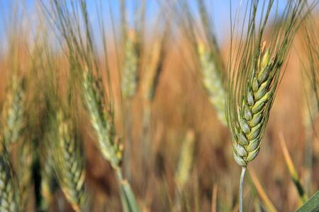 Single wheat close up in a field horizontal with copyspace