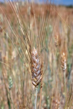 Single wheat over field Stock Photo