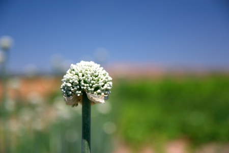 Closeup of onion flower with seeds over blue and green background  Soft focus, shallow depth of field