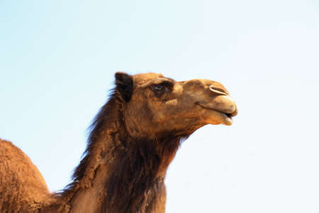 Single brown camel head shot isolated