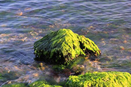 Green algaes over a rock at the coastline