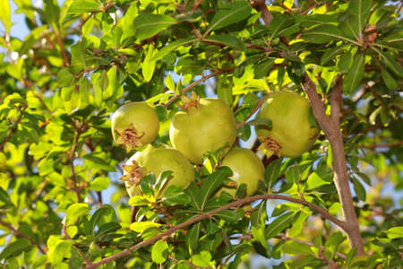 A bunch of pomegranates on tree with green leaves Stock Photo