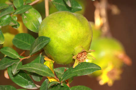 Single Pomegranate on tree with green leaves Standard-Bild